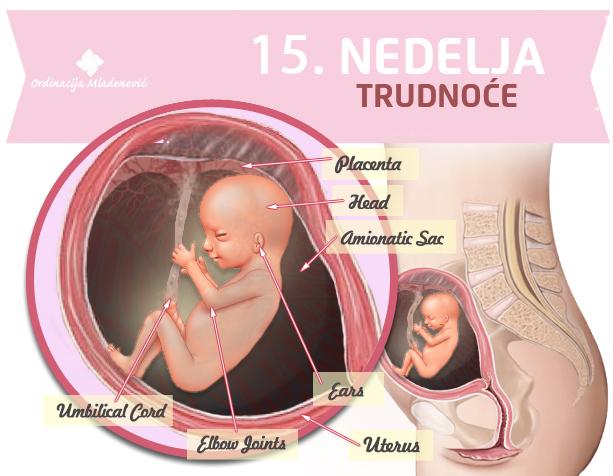 15 nedelja trudnoće