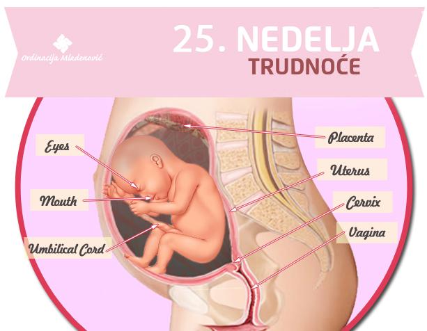 25 nedelja trudnoće