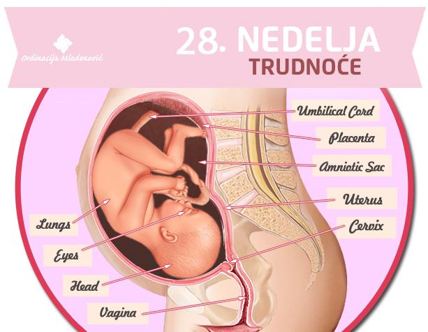 28 nedelja trudnoće